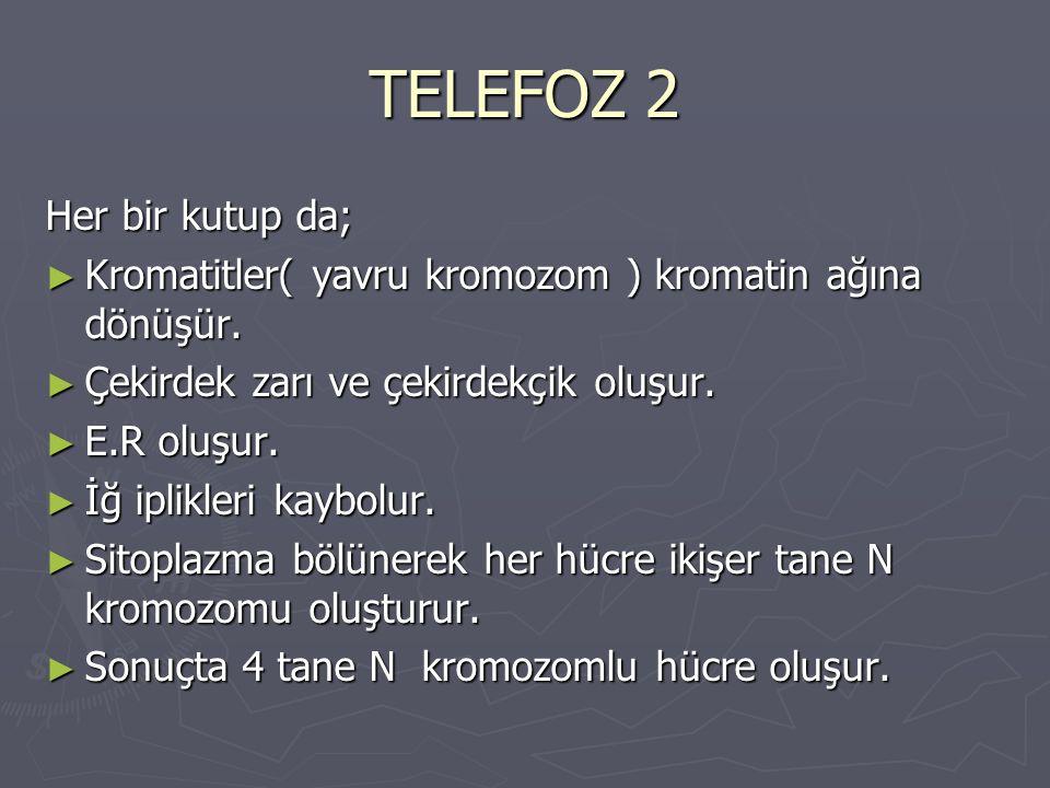 TELEFOZ 2 Her bir kutup da; ► Kromatitler( yavru kromozom ) kromatin ağına dönüşür. ► Çekirdek zarı ve çekirdekçik oluşur. ► E.R oluşur. ► İğ iplikler
