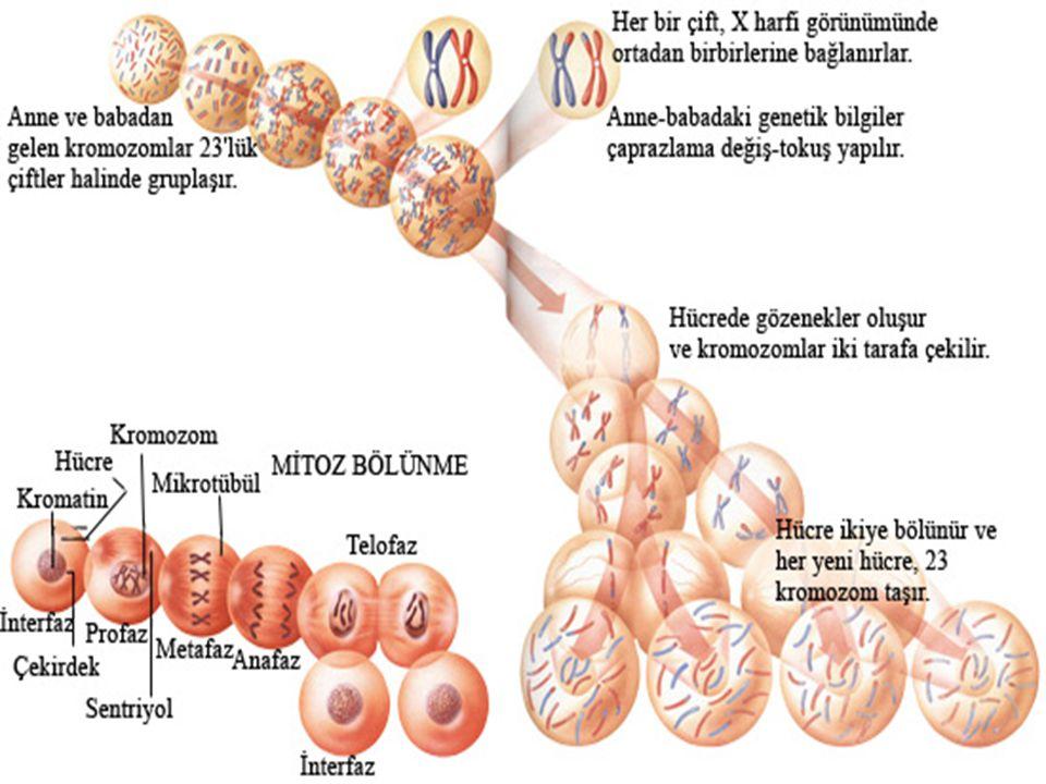 2.ÇEKİRDEK BÖLÜNME PROFAZ 2 PROFAZ 2 -Kromatin ağı kromazomlara dönüşür.