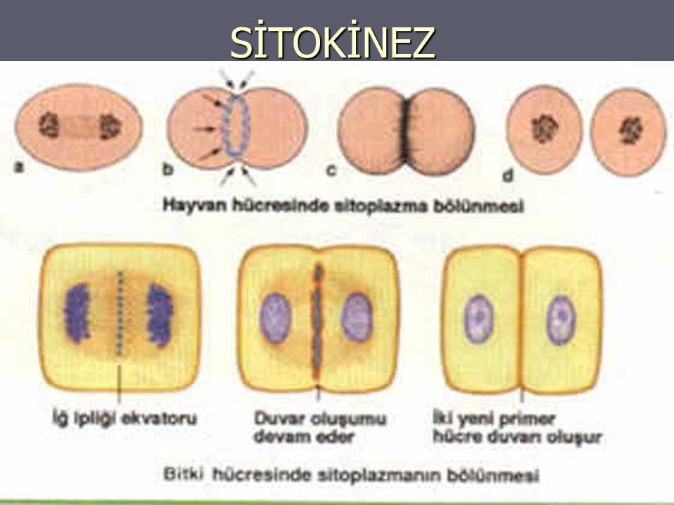 MİTOZ VE MAYOZ BÖLÜNME ARASINDAKİ FARKLAR MİTOZ MİTOZ -Çok hücreli canlıların vücut hücrelerinin çoğalmasını sağlar.
