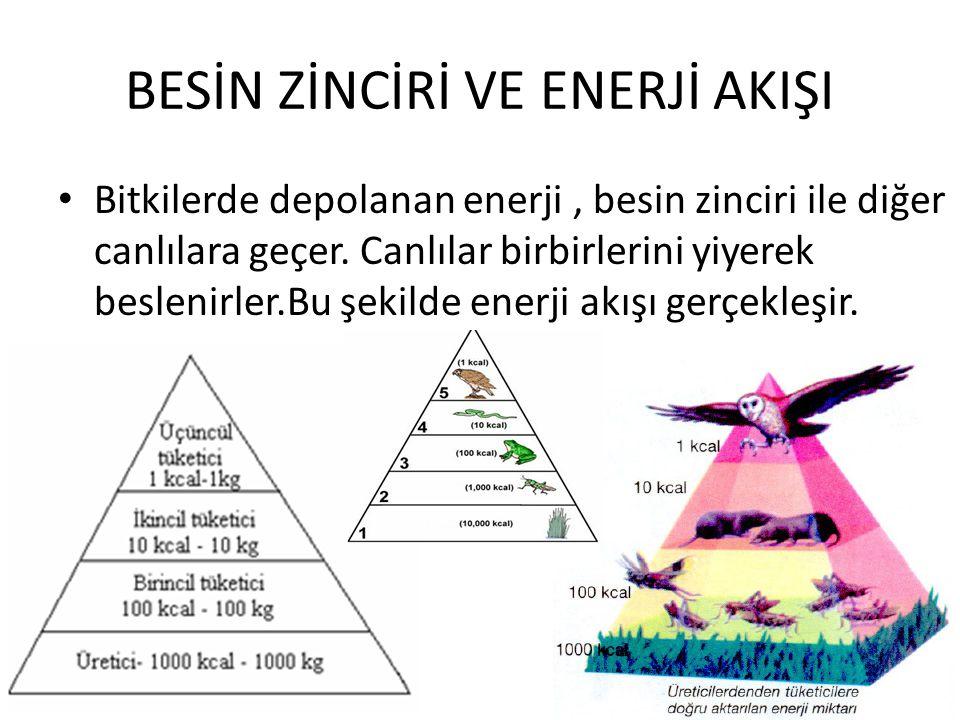 BESİN ZİNCİRİ VE ENERJİ AKIŞI Bitkilerde depolanan enerji, besin zinciri ile diğer canlılara geçer.