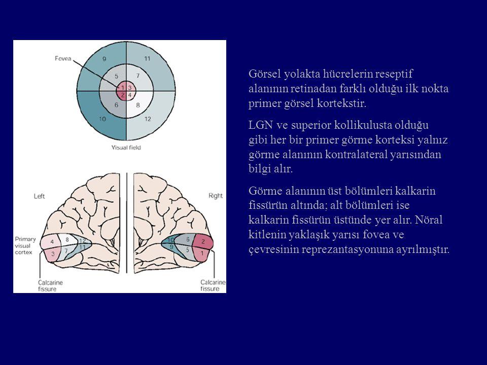 Görsel yolakta hücrelerin reseptif alanının retinadan farklı olduğu ilk nokta primer görsel kortekstir. LGN ve superior kollikulusta olduğu gibi her b