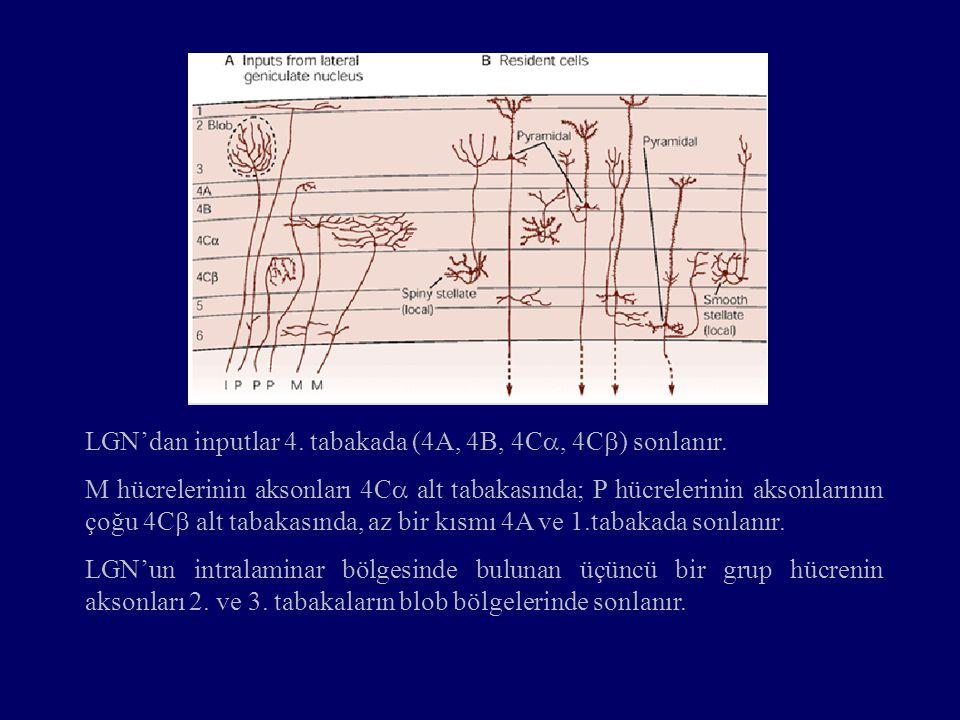 LGN'dan inputlar 4. tabakada (4A, 4B, 4C , 4C  ) sonlanır. M hücrelerinin aksonları 4C  alt tabakasında; P hücrelerinin aksonlarının çoğu 4C  alt