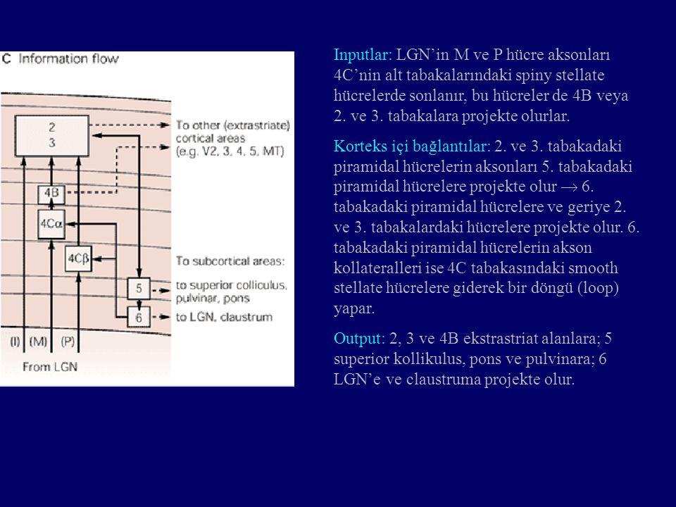 Inputlar: LGN'in M ve P hücre aksonları 4C'nin alt tabakalarındaki spiny stellate hücrelerde sonlanır, bu hücreler de 4B veya 2. ve 3. tabakalara proj