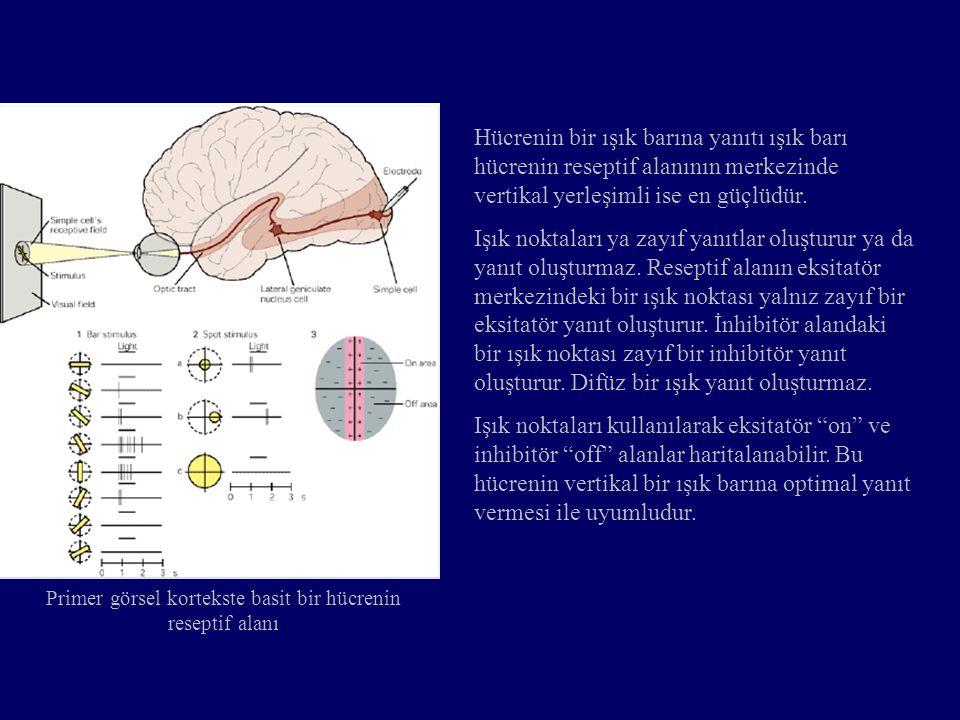 Primer görsel kortekste basit bir hücrenin reseptif alanı Hücrenin bir ışık barına yanıtı ışık barı hücrenin reseptif alanının merkezinde vertikal yer