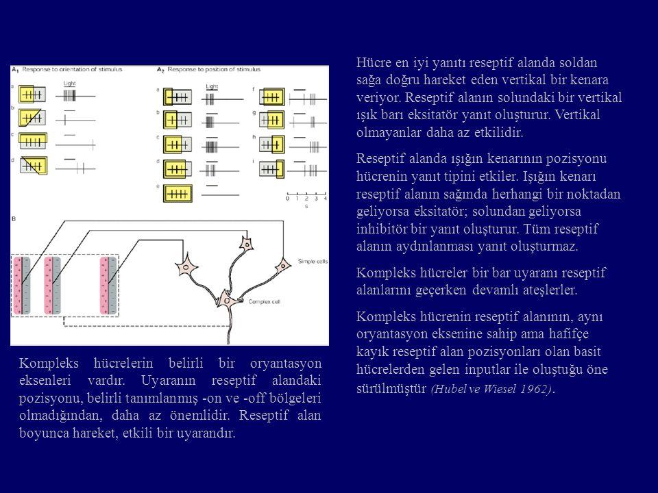 Kompleks hücrelerin belirli bir oryantasyon eksenleri vardır. Uyaranın reseptif alandaki pozisyonu, belirli tanımlanmış -on ve -off bölgeleri olmadığı