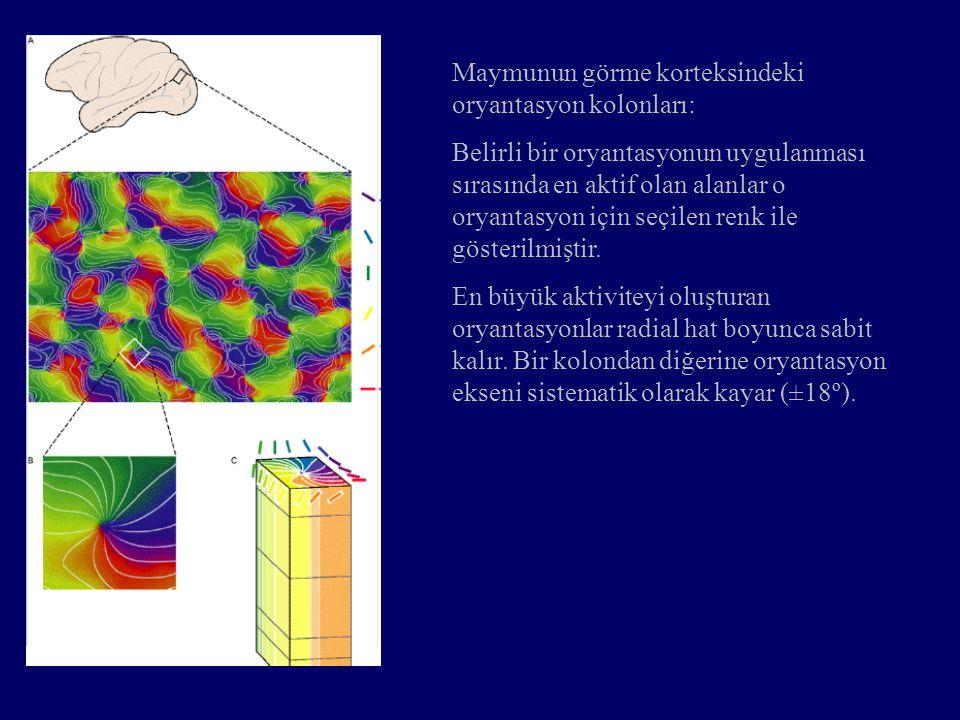 Maymunun görme korteksindeki oryantasyon kolonları: Belirli bir oryantasyonun uygulanması sırasında en aktif olan alanlar o oryantasyon için seçilen r