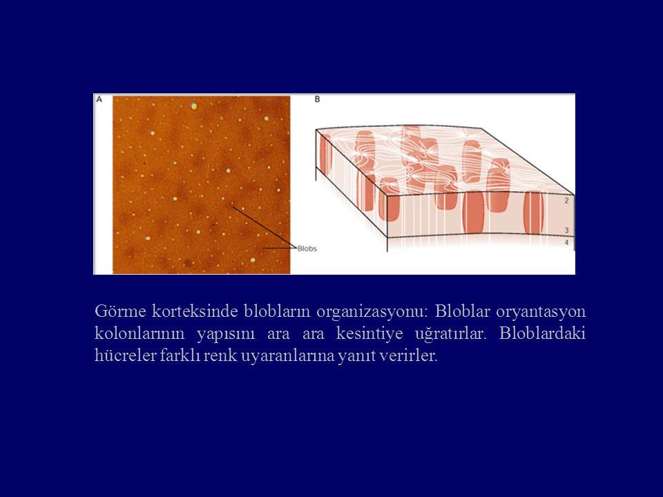 Görme korteksinde blobların organizasyonu: Bloblar oryantasyon kolonlarının yapısını ara ara kesintiye uğratırlar. Bloblardaki hücreler farklı renk uy
