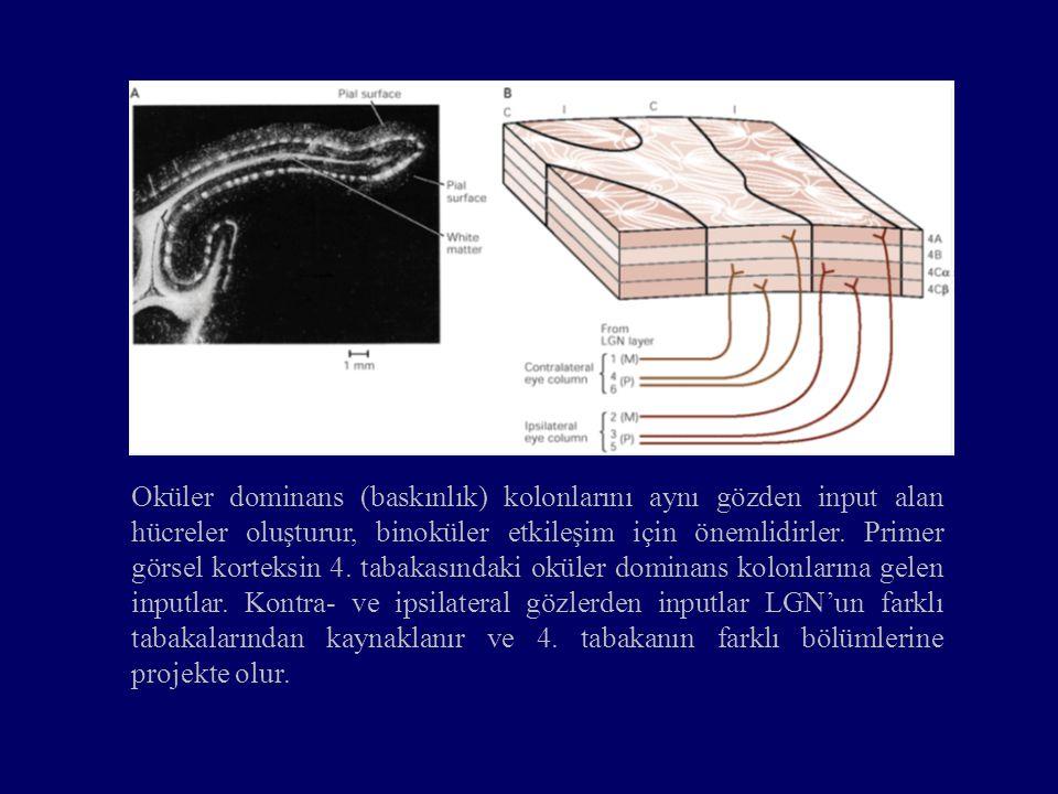 Oküler dominans (baskınlık) kolonlarını aynı gözden input alan hücreler oluşturur, binoküler etkileşim için önemlidirler. Primer görsel korteksin 4. t