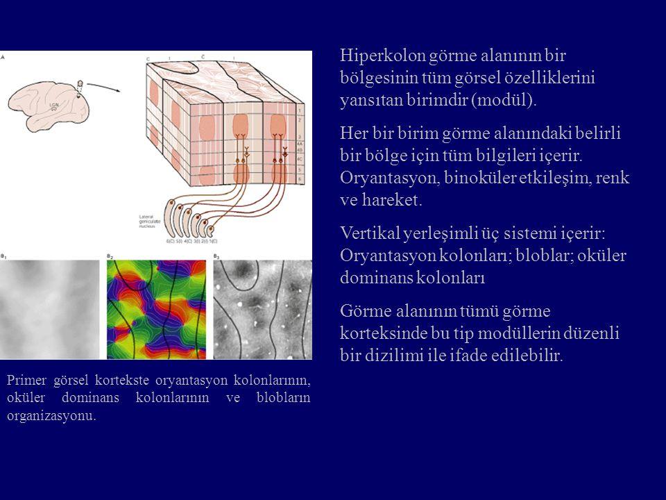 Primer görsel kortekste oryantasyon kolonlarının, oküler dominans kolonlarının ve blobların organizasyonu. Hiperkolon görme alanının bir bölgesinin tü