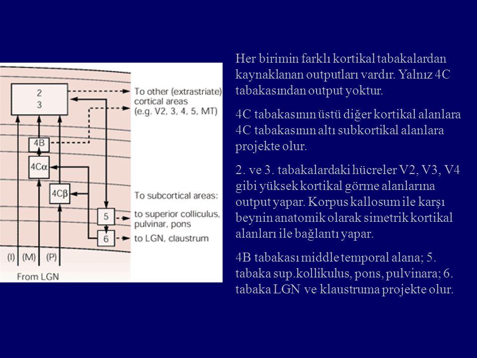 Her birimin farklı kortikal tabakalardan kaynaklanan outputları vardır. Yalnız 4C tabakasından output yoktur. 4C tabakasının üstü diğer kortikal alanl