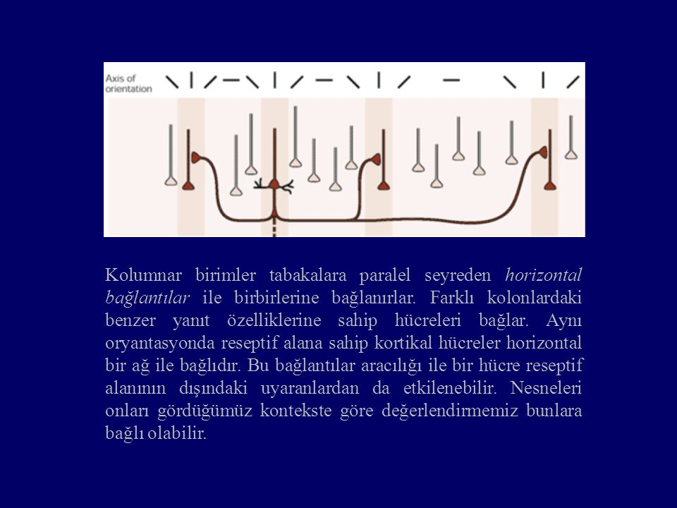 Kolumnar birimler tabakalara paralel seyreden horizontal bağlantılar ile birbirlerine bağlanırlar. Farklı kolonlardaki benzer yanıt özelliklerine sahi