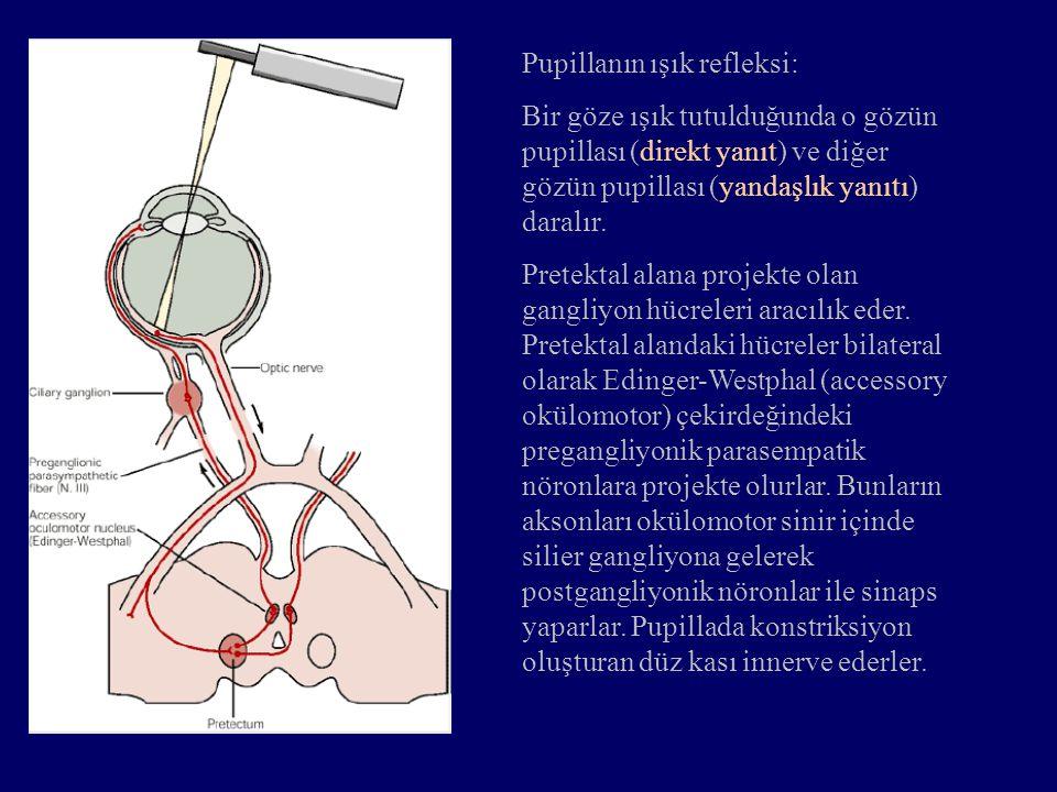 Pupillanın ışık refleksi: Bir göze ışık tutulduğunda o gözün pupillası (direkt yanıt) ve diğer gözün pupillası (yandaşlık yanıtı) daralır. Pretektal a