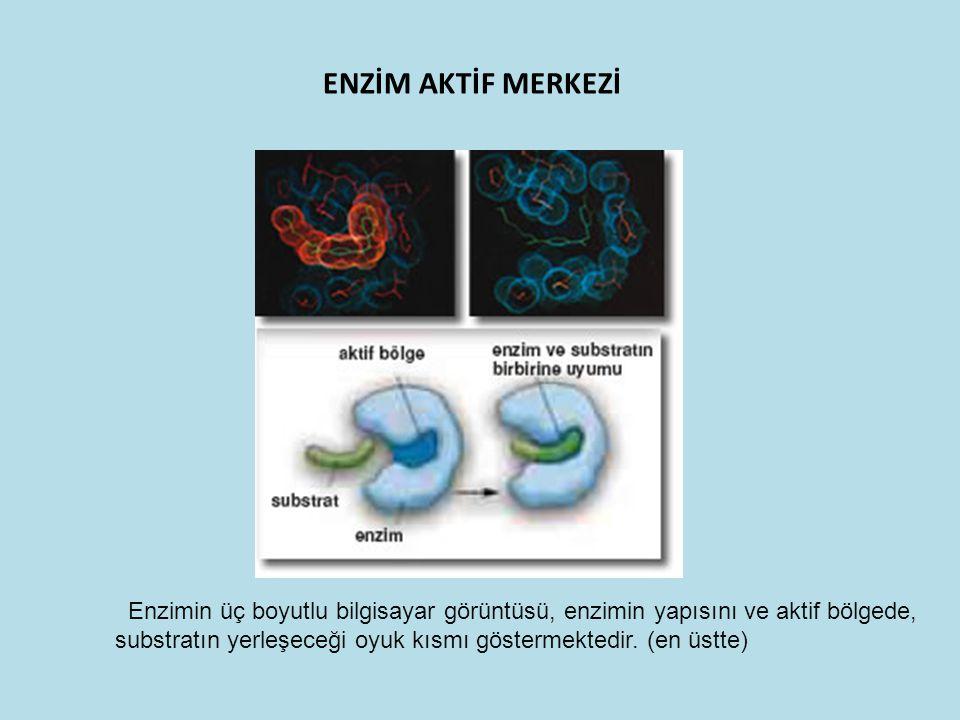 ENZİM AKTİF MERKEZİ Enzimin üç boyutlu bilgisayar görüntüsü, enzimin yapısını ve aktif bölgede, substratın yerleşeceği oyuk kısmı göstermektedir. (en