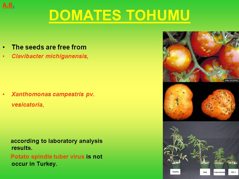 DOMATES TOHUMU The seeds are free from Clavibacter michiganensis, Xanthomonas campestris pv. vesicatoria, according to laboratory analysis results. Po