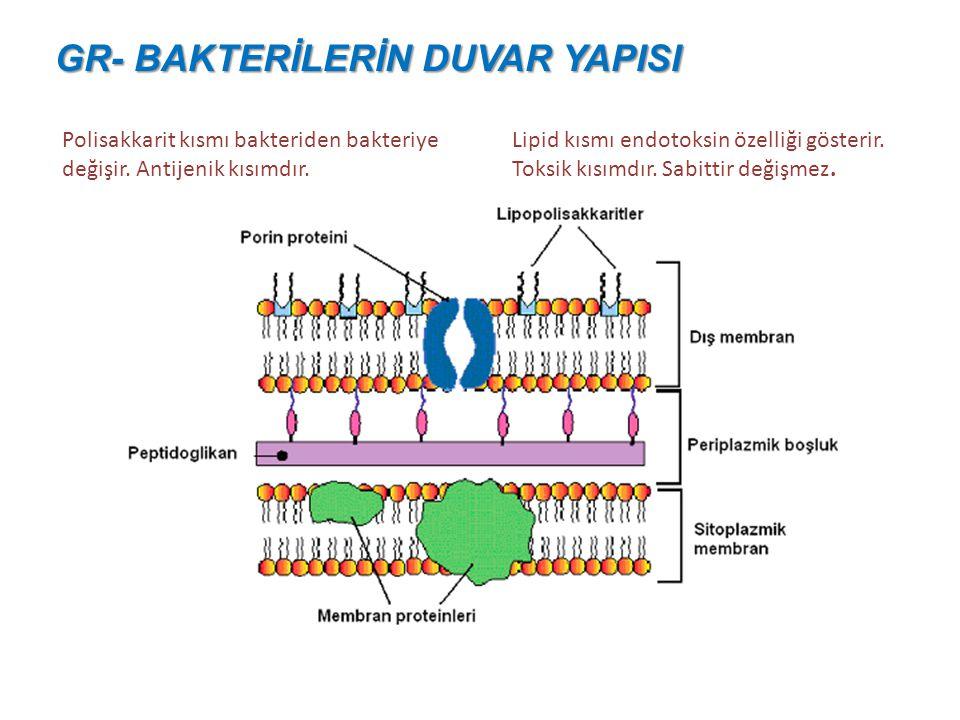 Teikoik asit Sadece gr+ bakterilerde bulunur. Peptidoglikan tabakanın içinde ve dışında adacıklar alinde bulunur. Antijenik olup türe özgü antikor yan