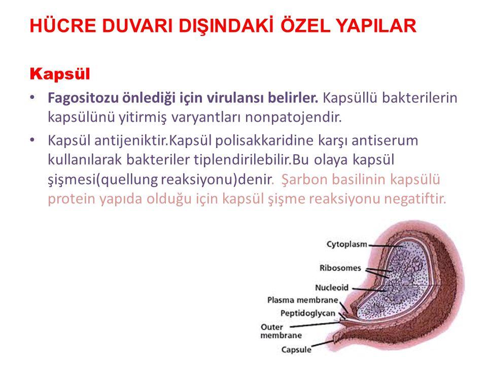 Mezozom Hücre zarının devamıdır. 2 tipi vardır: Septal mezozom : – kromozom replikasyonu buradan başlar. Lateral mezozom: – plazmid tutunma ve çoğalma