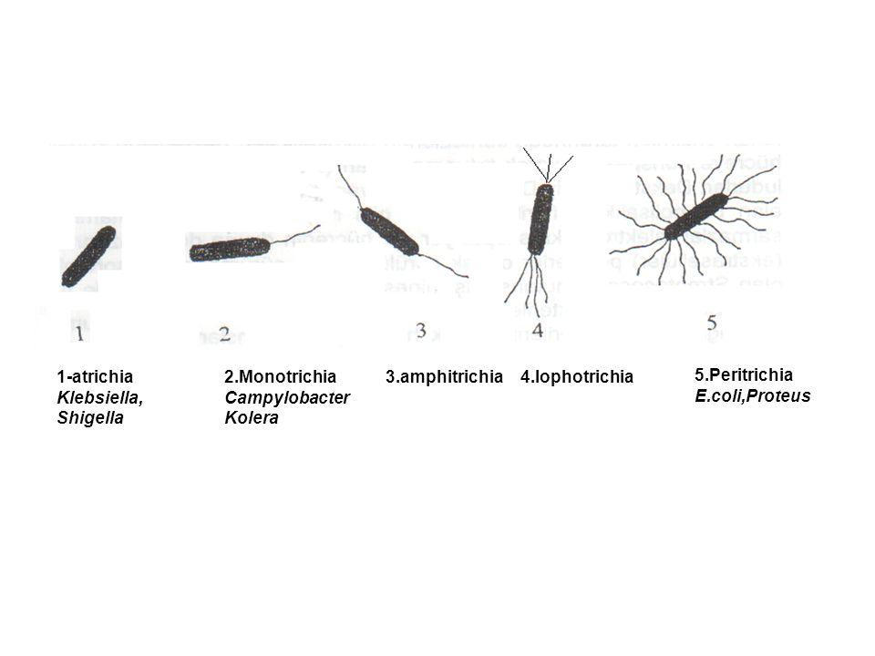 Kamçı(flagella) Hareketi sağlar. Flagellin adlı proteinden oluşur. Flagelladan kaynaklanan antijene H antijeni denir. Hareketsiz bakterilerin H antije