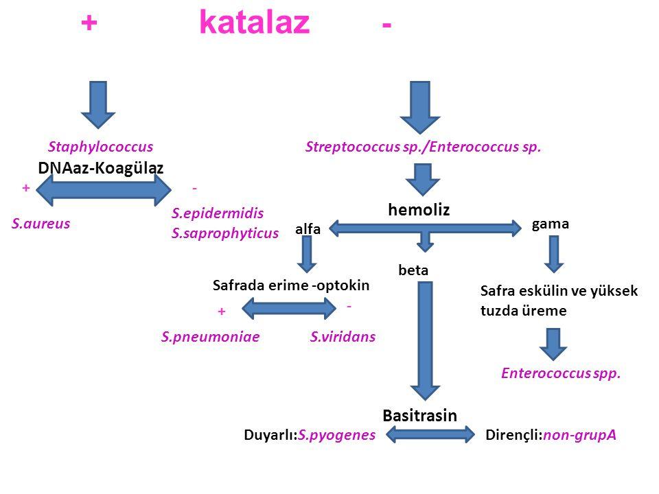 GR+ KOKLAR Streptokoklar Stafilokoklar Enterokoklar