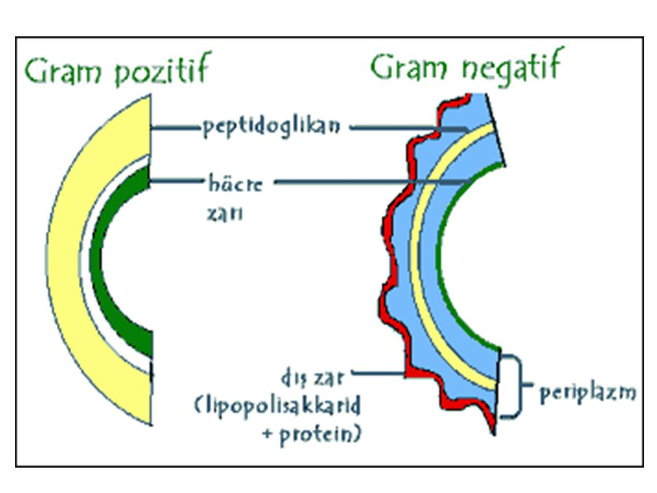 + katalaz - Enterococcus spp.Dirençli:non-grupA StaphylococcusStreptococcus sp./Enterococcus sp.