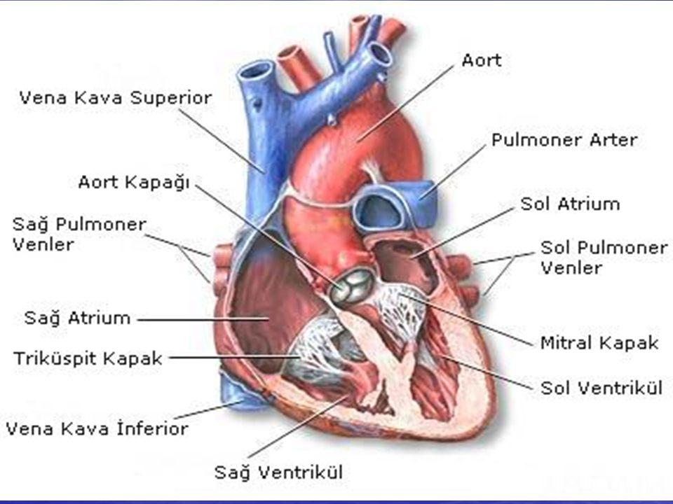 Kalbin dış yüzünü perikard denilen çepeçevre bir zar kaplar.
