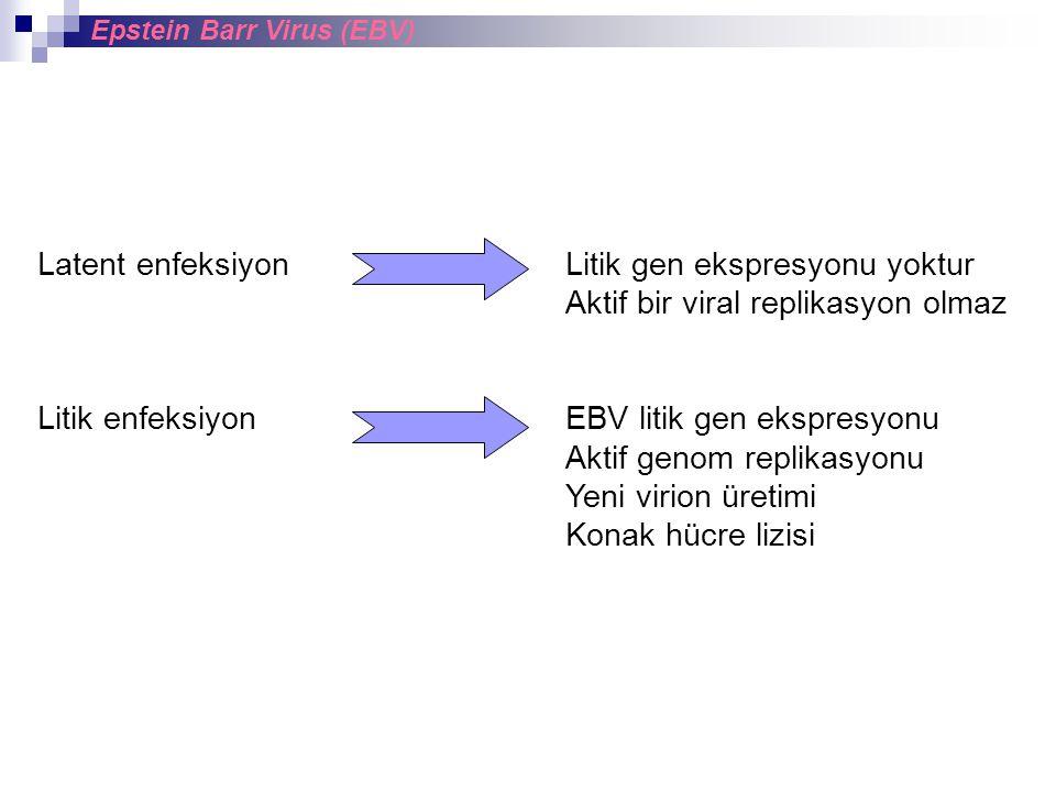 Latent enfeksiyon Litik gen ekspresyonu yoktur Aktif bir viral replikasyon olmaz Litik enfeksiyon EBV litik gen ekspresyonu Aktif genom replikasyonu Yeni virion üretimi Konak hücre lizisi Epstein Barr Virus (EBV)