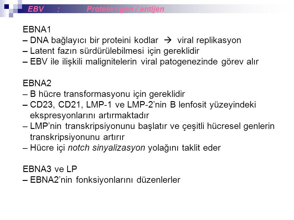 EBNA1 – DNA bağlayıcı bir proteini kodlar  viral replikasyon – Latent fazın sürdürülebilmesi için gereklidir – EBV ile ilişkili malignitelerin viral patogenezinde görev alır EBNA2 – B hücre transformasyonu için gereklidir – CD23, CD21, LMP-1 ve LMP-2'nin B lenfosit yüzeyindeki ekspresyonlarını artırmaktadır – LMP'nin transkripsiyonunu başlatır ve çeşitli hücresel genlerin transkripsiyonunu artırır – Hücre içi notch sinyalizasyon yolağını taklit eder EBNA3 ve LP – EBNA2'nin fonksiyonlarını düzenlerler EBV:Protein / gen / antijen