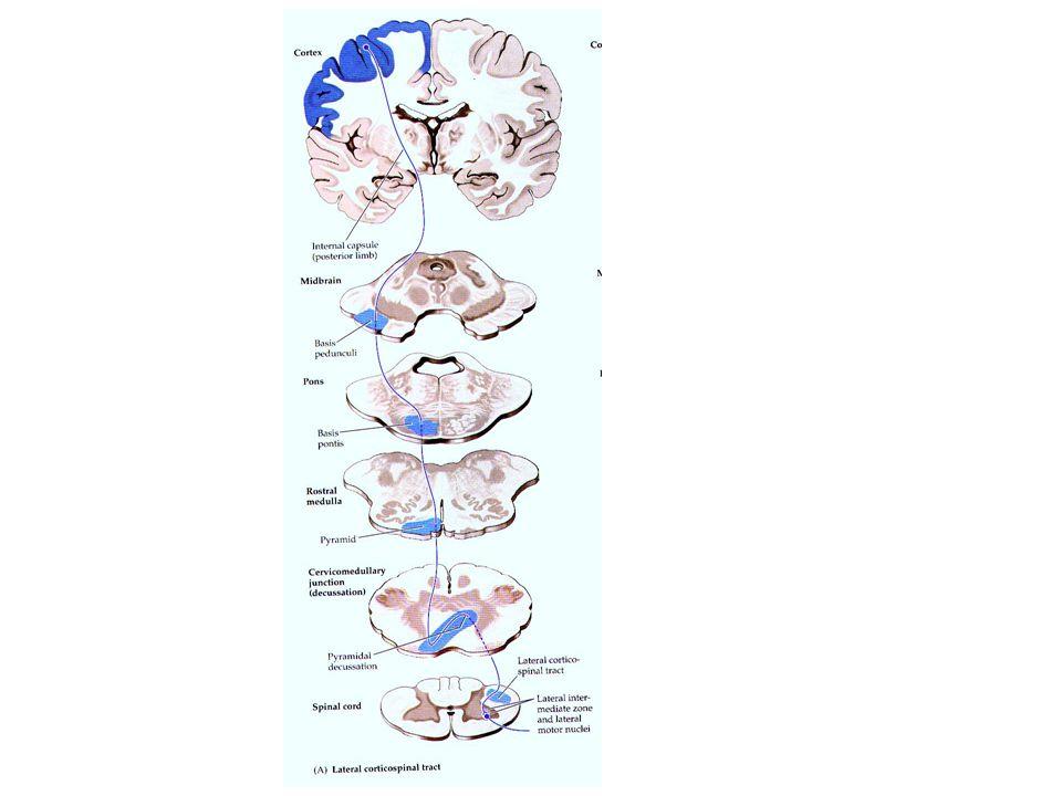 Vücuttaki istemli kasları hareket ettiren bu en hızlı yol yalnızca 2 nöron kullanmaktadır. Birinci nöron serebral kortekstedir, ikinci nöron ise vücud