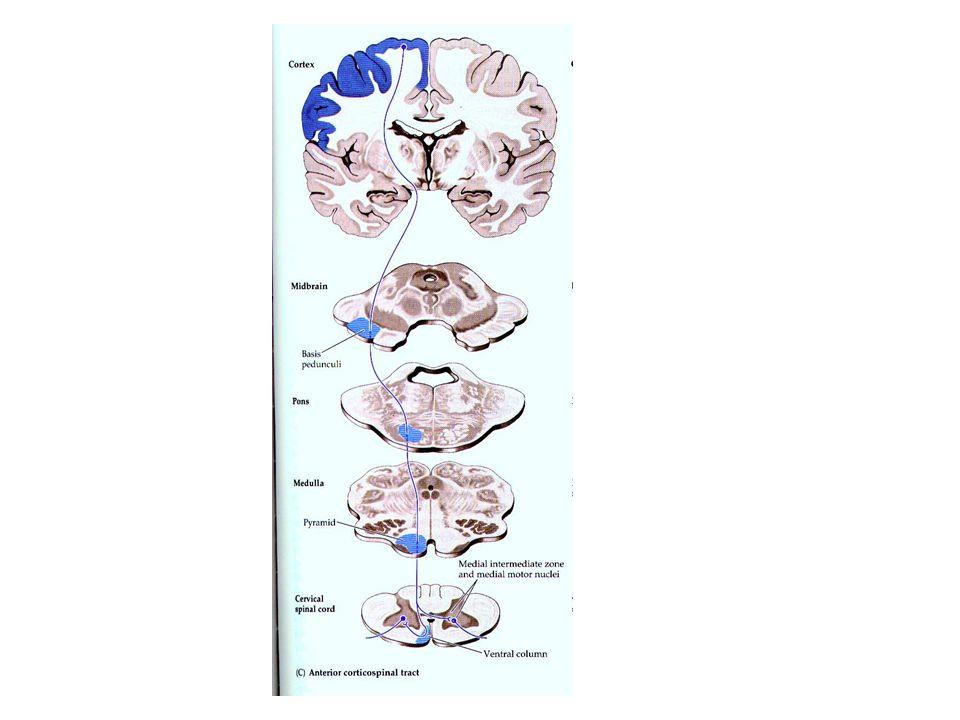 ANTERİOR KORTİKOSPİNAL YOL Bu lifler çapraz yapmaz ve karşı tarafa geçmez. Bu lifler uygun seviyelerde medulla spinalis ön boynuz motor nöronlarına in