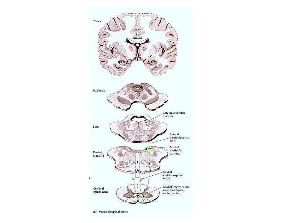 VESTİBÜLOSPİNAL YOL Vestibüler nükleuslar aynı zamanda serebellum ile de çok yakın bir ilişki içerisindedir. Serebellumun medulla spinalis üzerine dir