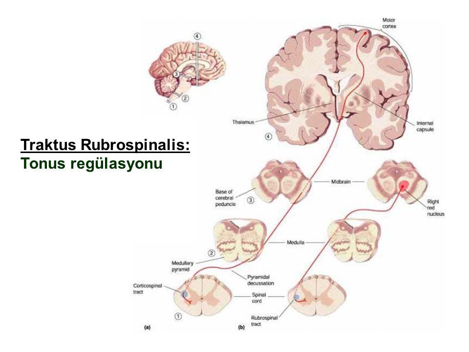 RUBROSPİNAL YOL Bu bölge elektriksel olarak uyarıldığı zaman ekstansörlerden ziyade fleksör kaslar uyarılır. Rubrospinal yol Nükleus Ruberden çıktıkta
