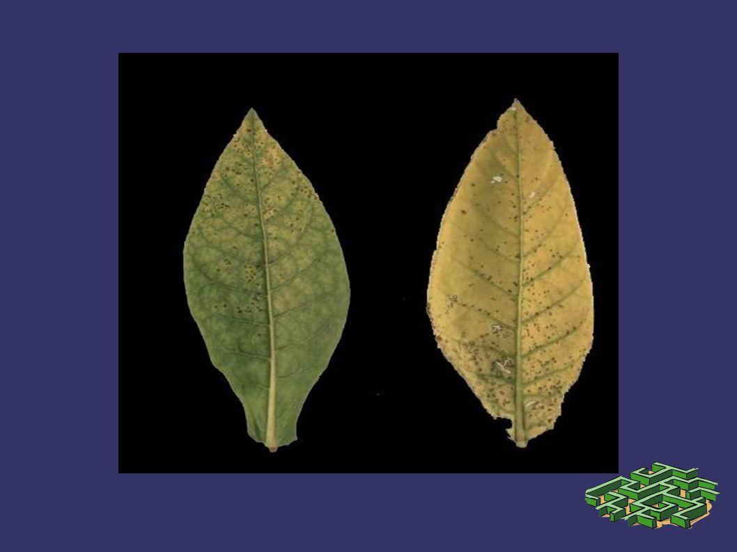 Mangan noksanlığının görülme sıklığı ve şiddeti mevsimsel koşullara da bağlıdır.