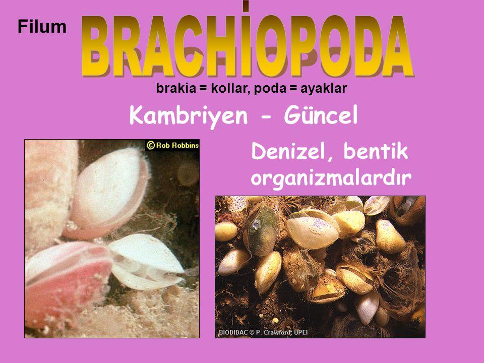 Filum Kambriyen - Güncel brakia = kollar, poda = ayaklar Denizel, bentik organizmalardır