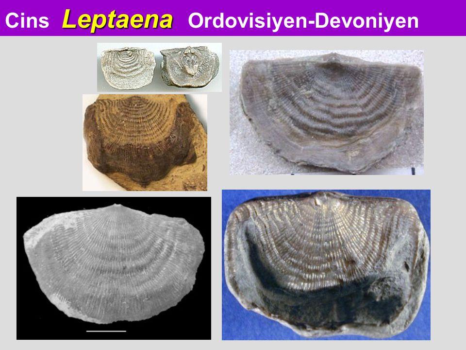 Leptaena Cins Leptaena Ordovisiyen-Devoniyen