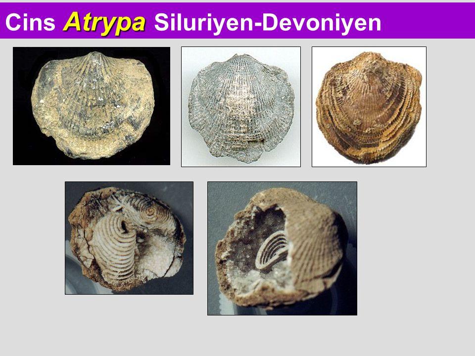 Atrypa Cins Atrypa Siluriyen-Devoniyen