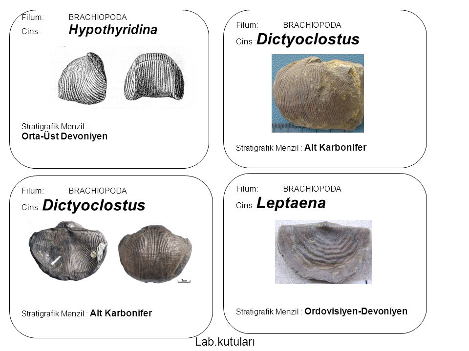 Filum: BRACHIOPODA Cins : Hypothyridina Stratigrafik Menzil : Orta-Üst Devoniyen Filum: BRACHIOPODA Cins : Dictyoclostus Stratigrafik Menzil : Alt Karbonifer Filum: BRACHIOPODA Cins : Dictyoclostus Stratigrafik Menzil : Alt Karbonifer Filum: BRACHIOPODA Cins : Leptaena Stratigrafik Menzil : Ordovisiyen-Devoniyen Lab.kutuları