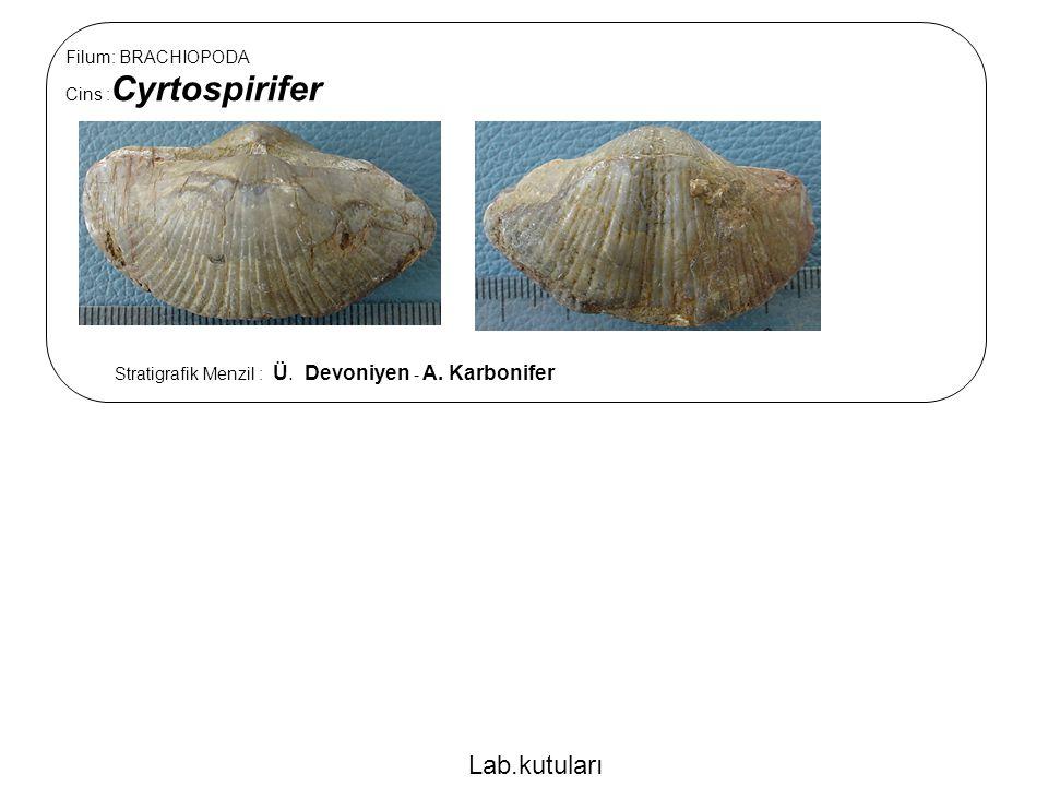Filum: BRACHIOPODA Cins : Cyrtospirifer Stratigrafik Menzil : Ü. Devoniyen - A. Karbonifer Lab.kutuları