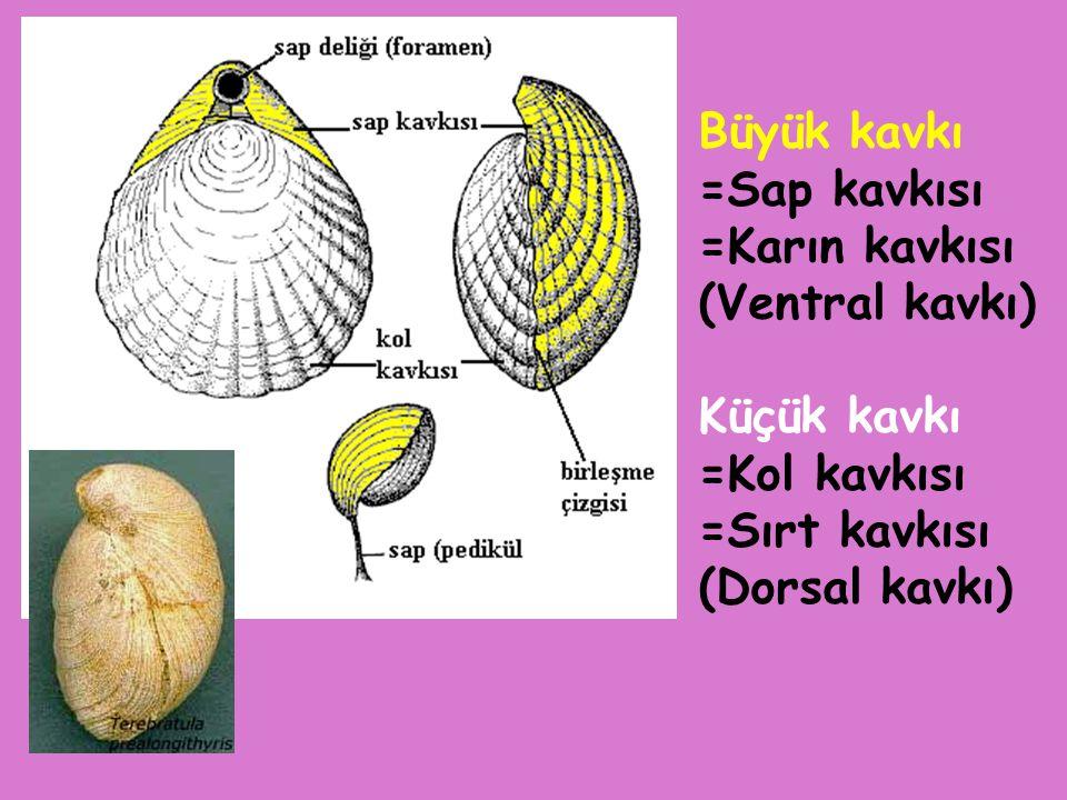 brakiyopodlu kireçtaşı Aulacothyris anatolica