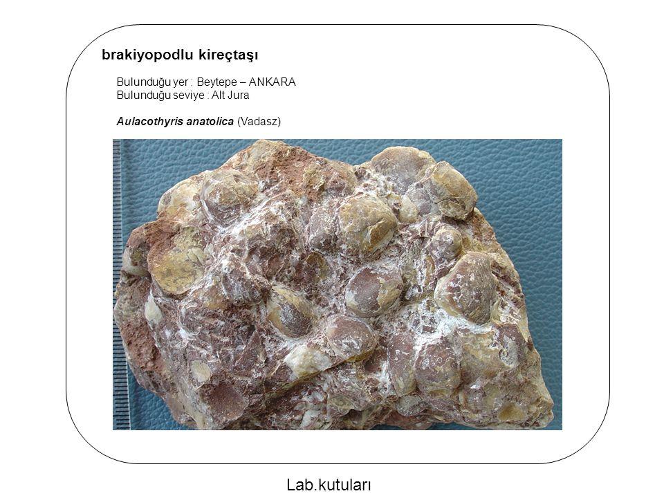 brakiyopodlu kireçtaşı Bulunduğu yer : Beytepe – ANKARA Bulunduğu seviye : Alt Jura Aulacothyris anatolica (Vadasz) Lab.kutuları