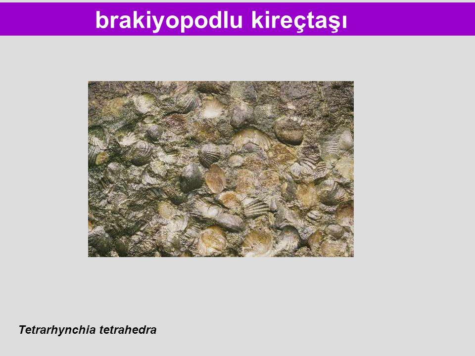 brakiyopodlu kireçtaşı Tetrarhynchia tetrahedra