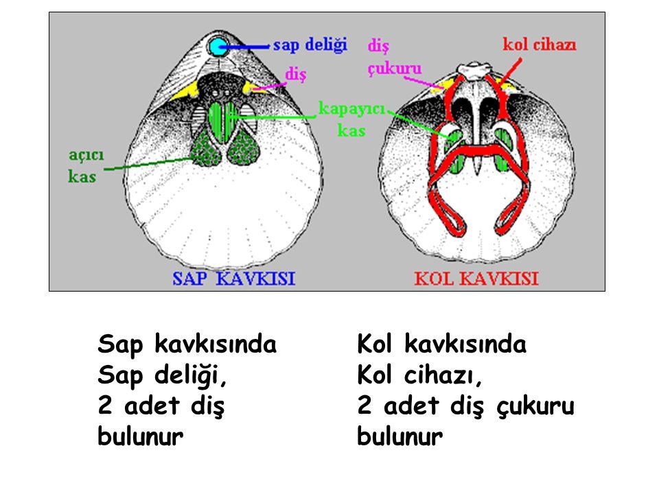 Filum: BRACHIOPODA Cins : Cyrtospirifer Stratigrafik Menzil : Ü.