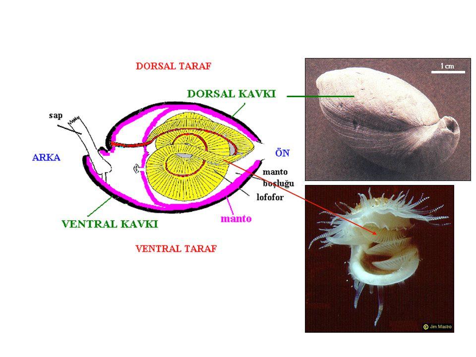 bryozoer tarafından sarılmış brakiyopod dikeni brakiyopod dikeni bryozoa