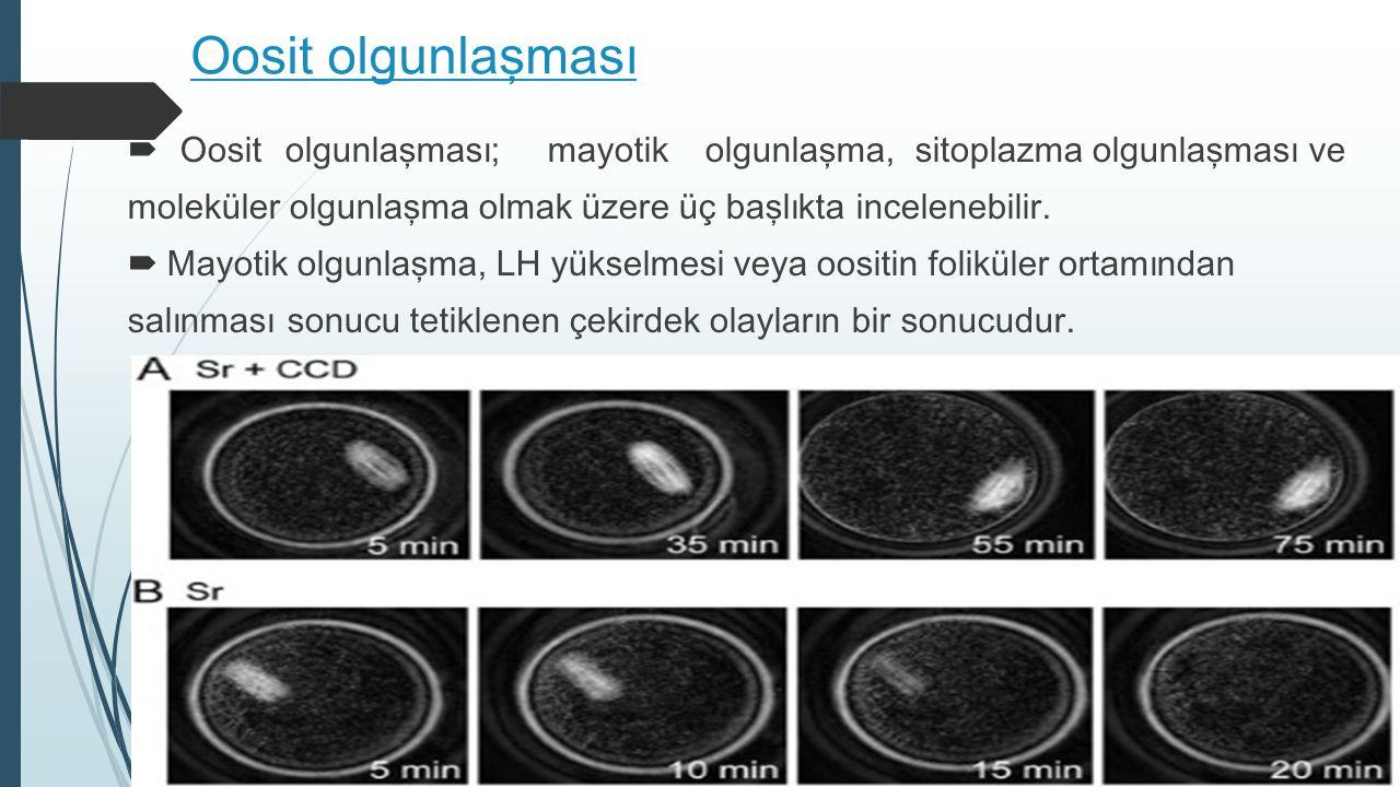 Oosit olgunlaşması  Oosit olgunlaşması; mayotik olgunlaşma, sitoplazma olgunlaşması ve moleküler olgunlaşma olmak üzere üç başlıkta incelenebilir. 