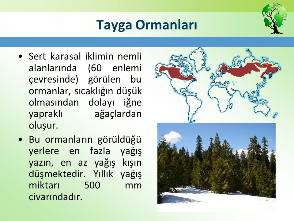 Tayga Ormanları Sert karasal iklimin nemli alanlarında (60 enlemi çevresinde) görülen bu ormanlar, sıcaklığın düşük olmasından dolayı iğne yapraklı ağ