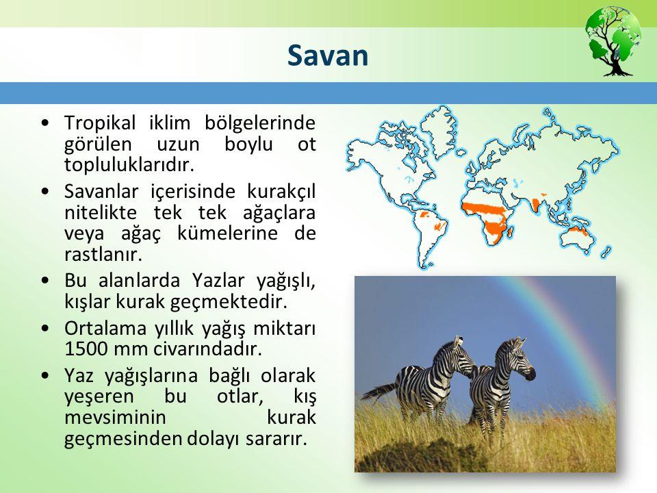 Savan Tropikal iklim bölgelerinde görülen uzun boylu ot topluluklarıdır. Savanlar içerisinde kurakçıl nitelikte tek tek ağaçlara veya ağaç kümelerine