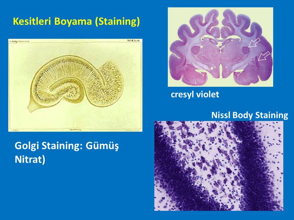Kesitleri Boyama (Staining) Golgi Staining: Gümüş Nitrat) cresyl violet Nissl Body Staining
