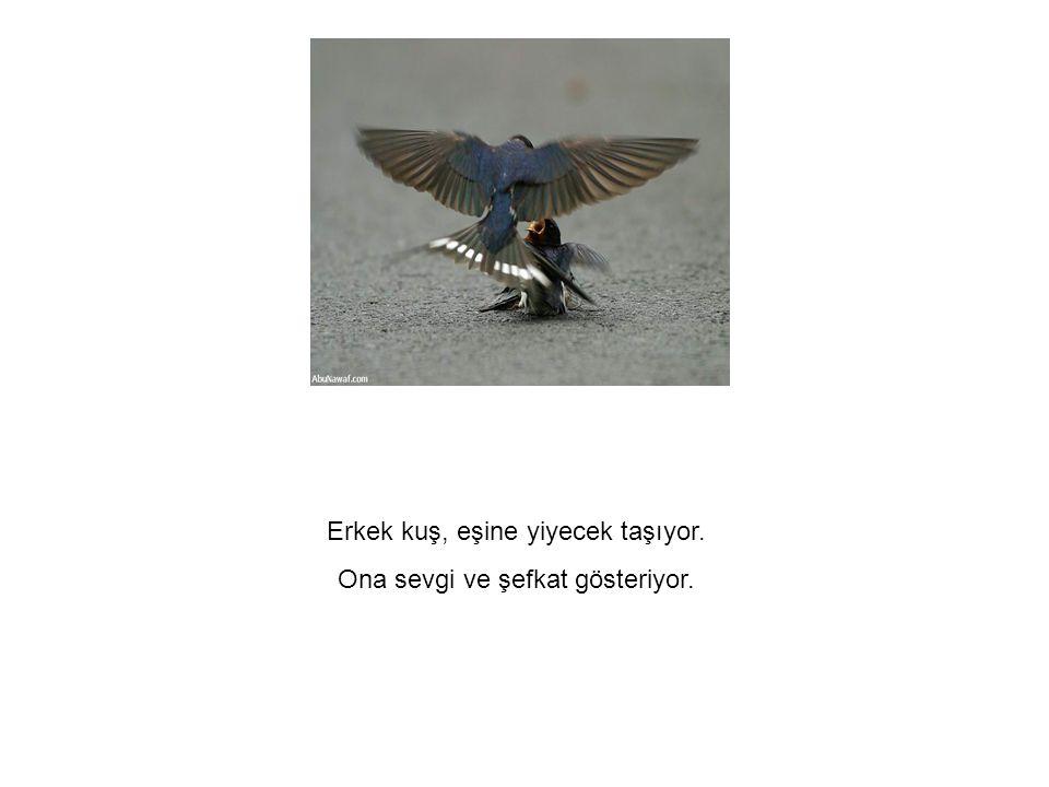 Ona sevgi ve şefkat gösteriyor. Erkek kuş, eşine yiyecek taşıyor. Ona sevgi ve şefkat gösteriyor.