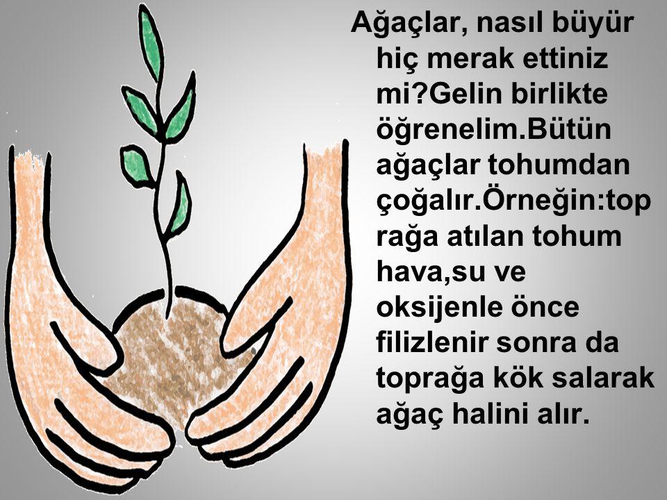 Ağaçlar, nasıl büyür hiç merak ettiniz mi?Gelin birlikte öğrenelim.Bütün ağaçlar tohumdan çoğalır.Örneğin:top rağa atılan tohum hava,su ve oksijenle önce filizlenir sonra da toprağa kök salarak ağaç halini alır.