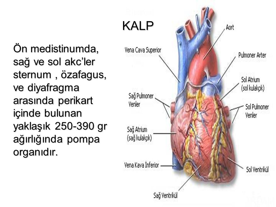 KALP Ön medistinumda, sağ ve sol akc'ler sternum, özafagus, ve diyafragma arasında perikart içinde bulunan yaklaşık 250-390 gr ağırlığında pompa organ