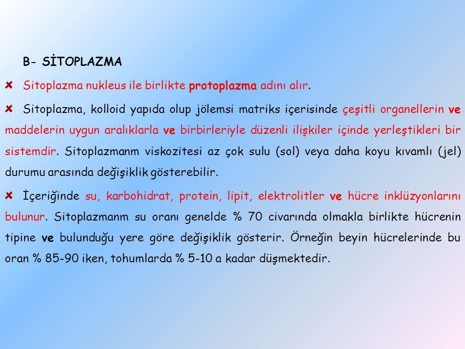 B- SİTOPLAZMA Sitoplazma nukleus ile birlikte protoplazma adını alır. Sitoplazma, kolloid yapıda olup jölemsi matriks içerisinde çeşitli organellerin