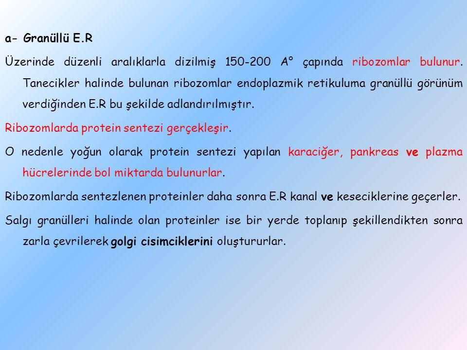 a- Granüllü E.R Üzerinde düzenli aralıklarla dizilmiş 150-200 A° çapında ribozomlar bulunur. Tanecikler halinde bulunan ribozomlar endoplazmik retikul